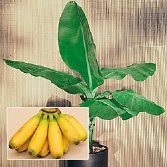Как сажать банан декоративный 48